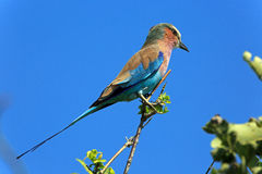 Lilac breasted roller Royalty Free Stock Images