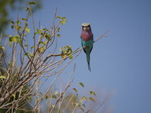 Lilac-breasted roller at Chobe National Park. Chobe national park, Botswana-August 1, 2015:  It is home to an abundance of wildlife Royalty Free Stock Photography