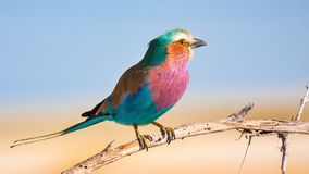 Africa Bird - Lilac breasted roller colorful bird standing on the tree branch in Namibia. Lilac breasted roller Kraska liliowopierÅ›na, safari colorful bird stock image