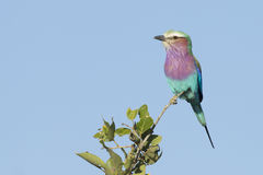 Lilac Breasted Roller (Coracias caudata) South Africa. A Lilac Breasted Roller perched on a branch in South Africa's Kruger Park. (Coracias caudata Stock Image