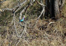 Lilac Breasted Roller (Coracias caudata) Royalty Free Stock Image