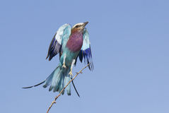 Lilac Breasted Roller (Coracias caudata) taking off, Botswana Royalty Free Stock Photos