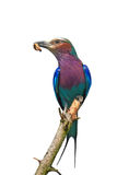 Lilac-breasted roller (Coracias caudatus) Stock Images