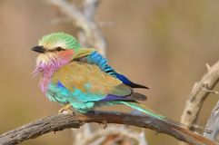 Lilac-breasted Roller (Coracias caudatus). In Kruger National Park, South Africa Stock Photography