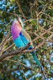 Lilac breasted Roller (Coracias caudatus) Royalty Free Stock Photos