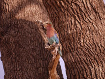 Lilac-breasted roller. (Coracias caudatus) in Zambia Royalty Free Stock Photo