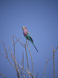 Lilac-breasted roller. (Coracias caudatus) in Zambia Stock Photo