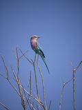 Lilac-breasted roller. (Coracias caudatus) in Zambia Royalty Free Stock Photos