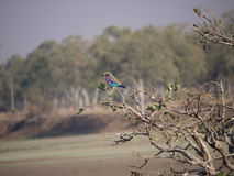 Lilac-breasted roller. (Coracias caudatus) in Zambia Stock Images