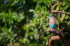 Lilac breasted roller. Coratias caudata in Udawalawe National Park, Sri Lanka Stock Image