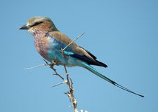 Lilac breasted roller. Royalty Free Stock Image