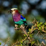 Lilac-breasted Roller with extraction. Stock Photography