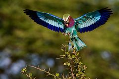 Lilac-breasted Roller with extraction. The bright bird sits down on a branch holding in a beak of a cricket. The Bright green background Royalty Free Stock Photos