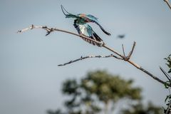 Lilac-breasted roller flying away. Royalty Free Stock Photography
