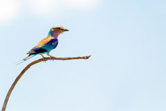 Lilac Breasted Roller Isolated Against Sky Stock Image