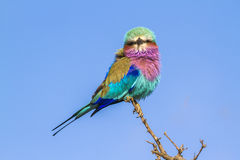 Lilac-breasted roller in Kruger National park, South Africa Royalty Free Stock Photos