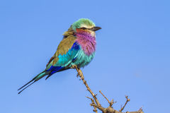 Lilac-breasted roller in Kruger National park, South Africa Royalty Free Stock Images
