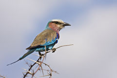 Lilac breasted roller at Kurger, South Africa Stock Photography
