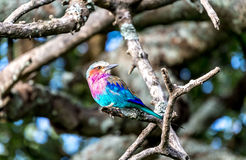 The Lilac-breasted Roller. Lilacbreasted Roller; Coracias Caudata; Tanzania Royalty Free Stock Images