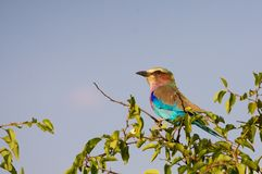 Lilac breasted roller looking left royalty free stock photos