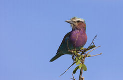 Lilac-breasted roller Royalty Free Stock Photos