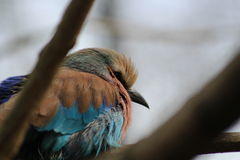 Lilac-Breasted Roller bird Stock Image