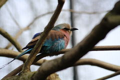 Lilac-Breasted Roller bird Royalty Free Stock Photo