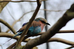 Lilac-Breasted Roller bird Royalty Free Stock Image