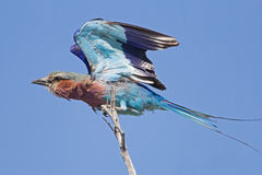 Lilac-breasted roller with open wings on branch. Coracias Caudata royalty free stock photography