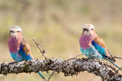 Lilac-Breasted Roller Pair Stock Images