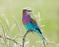 Lilac Breasted Roller Perched Royalty Free Stock Images
