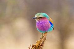 Lilac Breasted Roller Perched Royalty Free Stock Photography