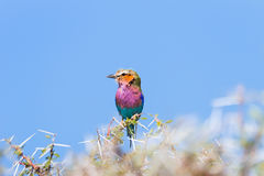 Lilac-breasted roller perched on a acacia  branch Stock Photo