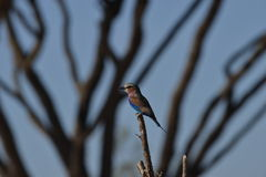 Lilac Breasted Roller. Perched on a branch Stock Image