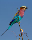 Lilac breasted roller Royalty Free Stock Photography