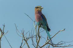Lilac breasted roller perched on a branch Stock Image