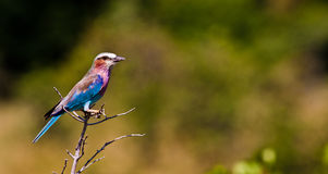 Lilac Breasted Roller Perched on a branch Stock Photo