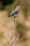 Lilac Breasted Roller Perched on a branch Stock Photos