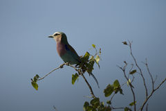 Lilac-breasted roller perched on a branch in the Kruger National park, South Africa. Royalty Free Stock Photos