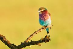 Beautiful Lilac breasted roller perched on abranch of a tree Royalty Free Stock Images