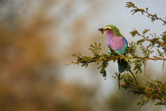 Lilac-breasted roller perched on a branch Royalty Free Stock Images