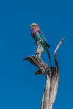 Lilac-breasted roller perched on dead tree stump Stock Images