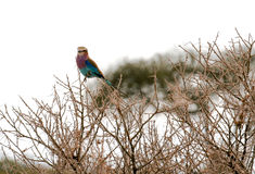 Lilac Breasted Roller Perched High in a Tree. A beautiful Lilac Breasted Roller perches in a high tree surrounded by many thorns Stock Image