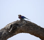 Lilac-breasted Roller Perched. National bird of Kenya & Botswana Stock Photo
