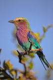 Lilac-breasted Roller perched on a tree branch Royalty Free Stock Photography