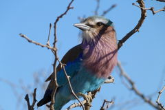 Lilac breasted roller. The photo of  this   Roller  was  taken   in  the   Kruger  National  park   in  South  Africa Stock Photos