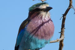 Lilac breasted roller. The photo of  this   Roller  was  taken   in  the   Kruger  National  park   in  South  Africa Royalty Free Stock Photo