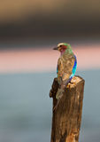 A Lilac-breasted Roller on a pole Stock Photography