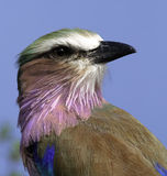 Lilac Breasted Roller Royalty Free Stock Photo