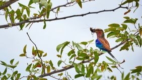 Lilac breasted roller with a prey Stock Photography